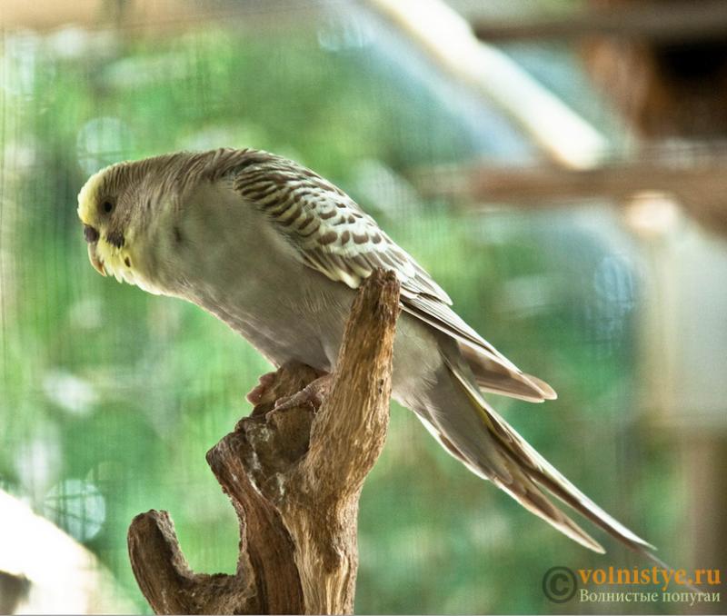 попугайчик Сокол - ae2b.png