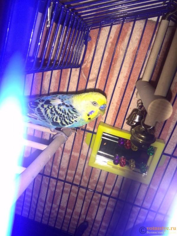 попугайчик тяжело дышит - IMG_20150814_213610.jpg