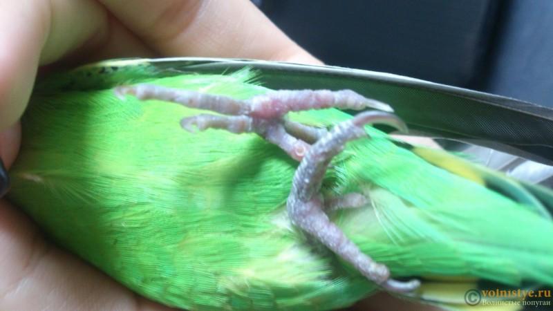 Попугай не становится на правую лапку - DSC_0290.JPG