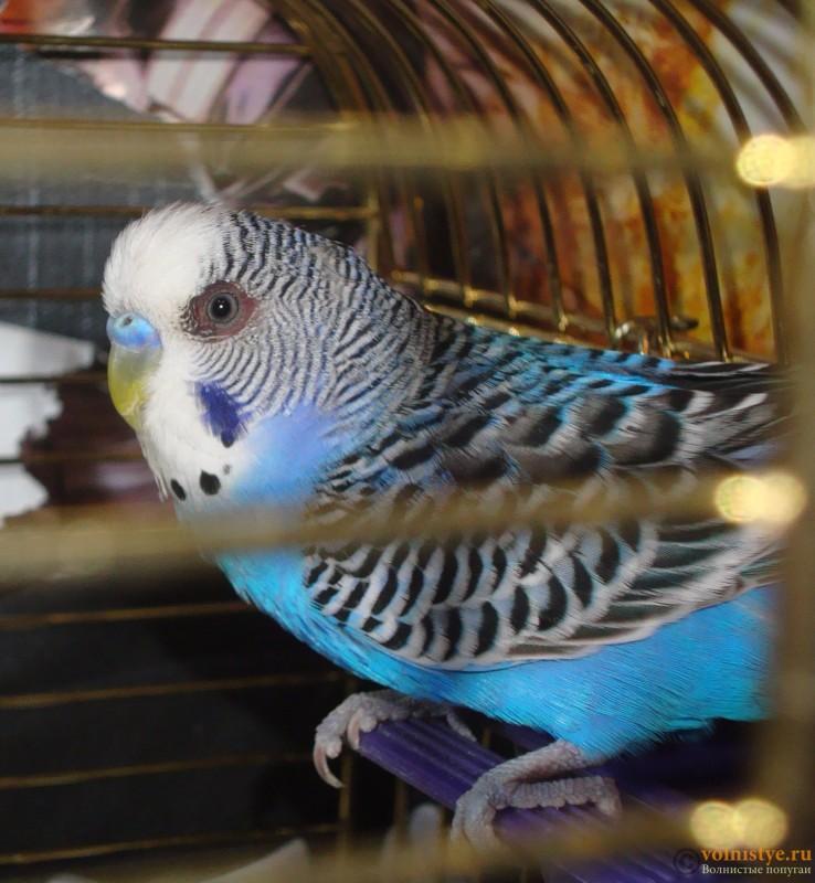 Болезни глаз у попугаев волнистых