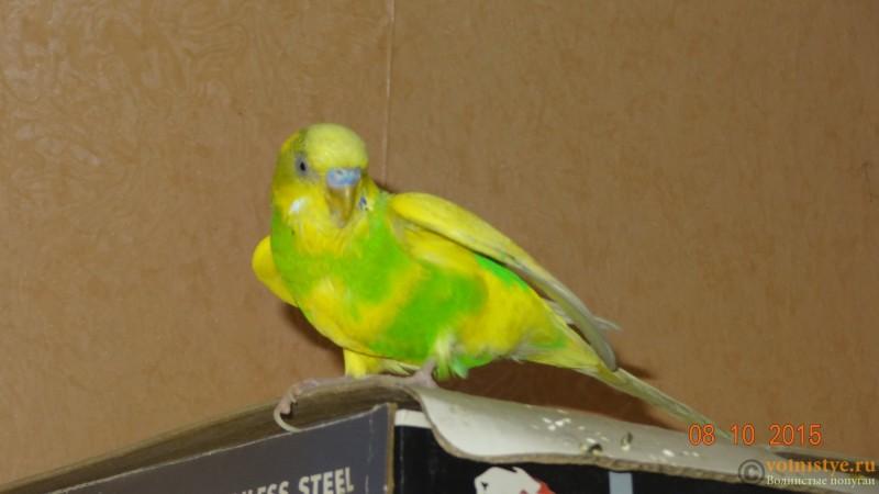 мокрая грудка у попугая - DSC00753.JPG