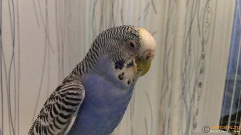 подскажите что с попугаем,заболел? - IMAG1887_BURST001.jpg