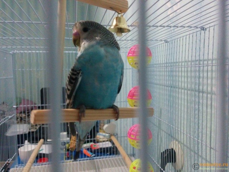 Хрипы у попугая - IMG_20151012_191200.jpg