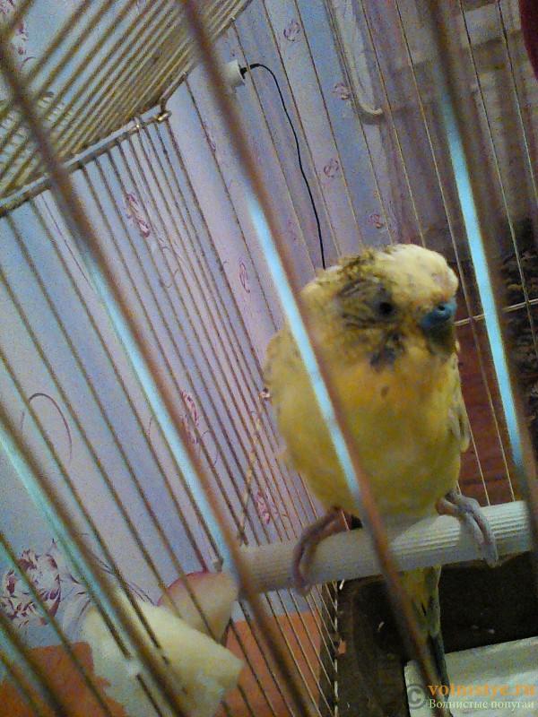 Пухопероеды у попугая - IMG_20151030_193351.jpg