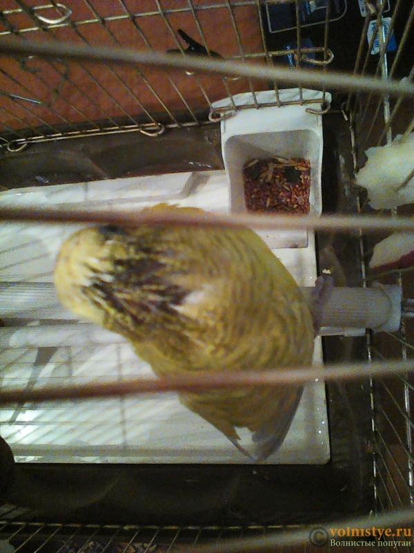 Пухопероеды у попугая - IMG_20151030_193405.jpg