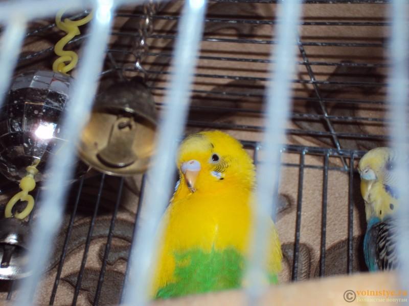 Попугай, на клюве видно кровоподтек - DSC03366.JPG