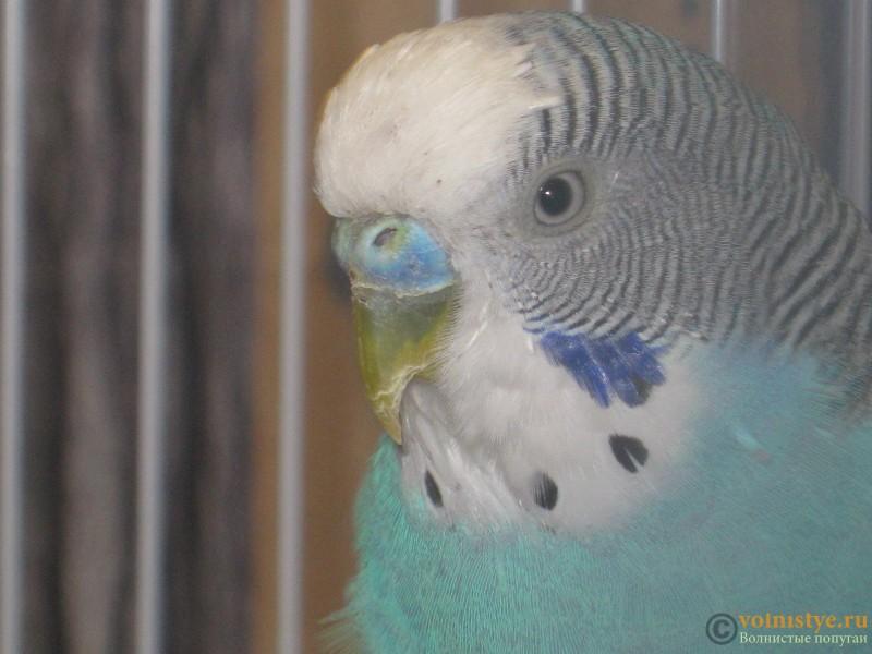 Линька у попугая. - IMG_0076.JPG