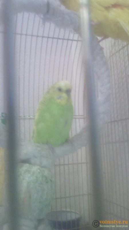 Опухоль на животе у волнистого попугая - 1453645680857.jpg