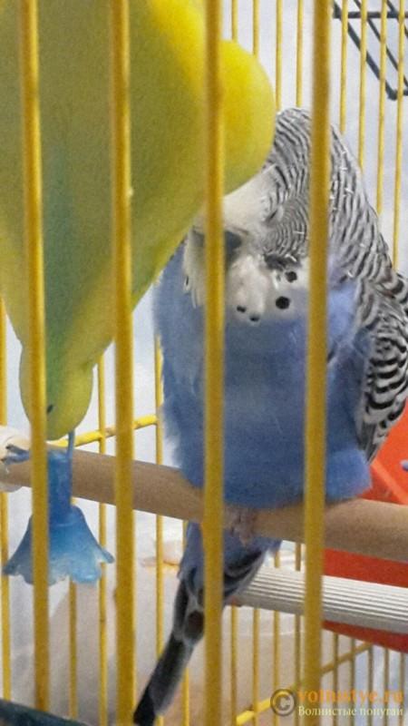 Попугай не становится на левую лапку - 9fjNFwiVj_k.jpg
