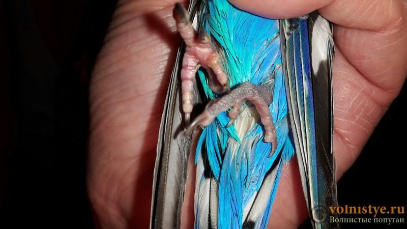 Попугай не становится на левую лапку - лапки (2).jpg