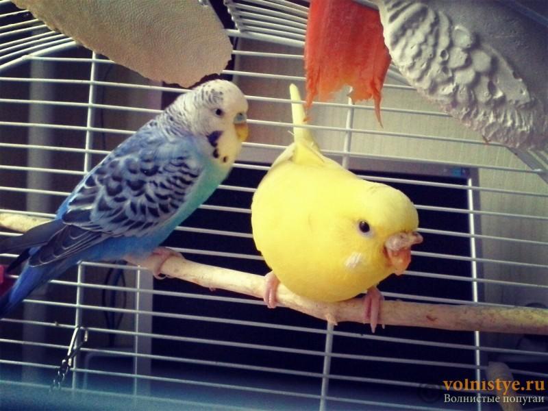 Гиперкератоз у попугая - temp_upload.jpg