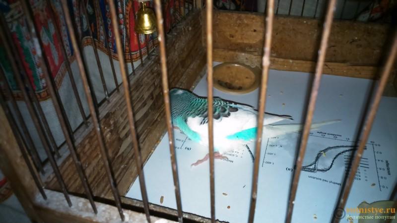 У попугая инфекция или инсульт - DSC_0565.jpg
