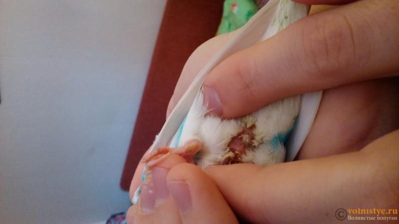 У попугая инфекция или инсульт - DSC_0563.jpg