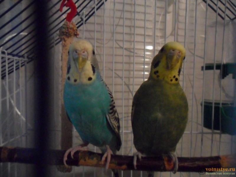 Делимся опытом приручения двух и более попугаев - SAM_3624.JPG