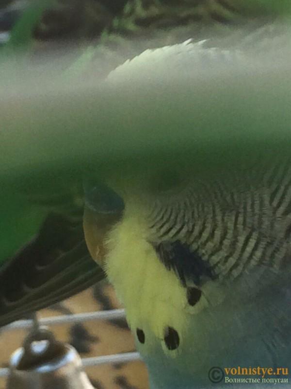 Кореллы выщипывают перья друг у друга - image.jpeg