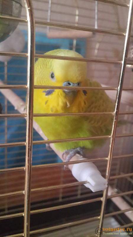 Ослеп волнистый попугай