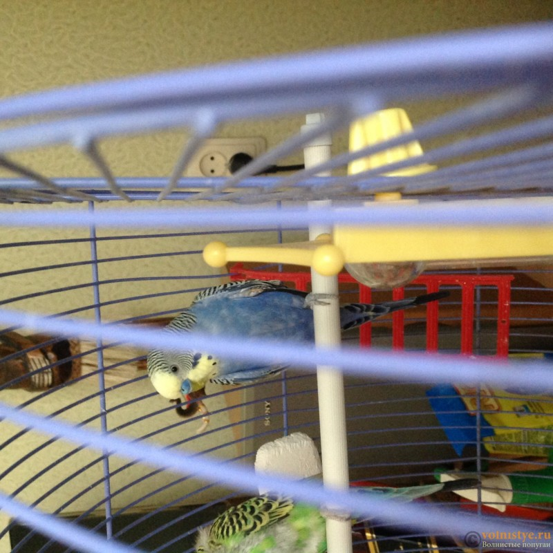 Глюконат кальция волнистому попугаю