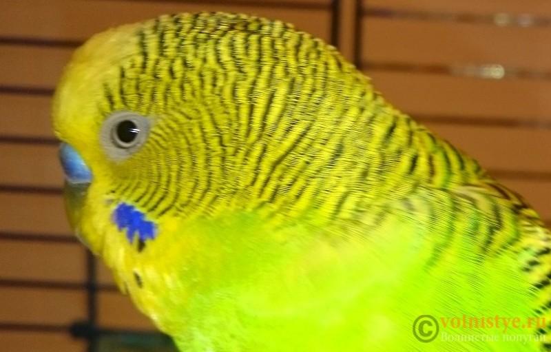Попугай 3 - DSC_0163.JPG