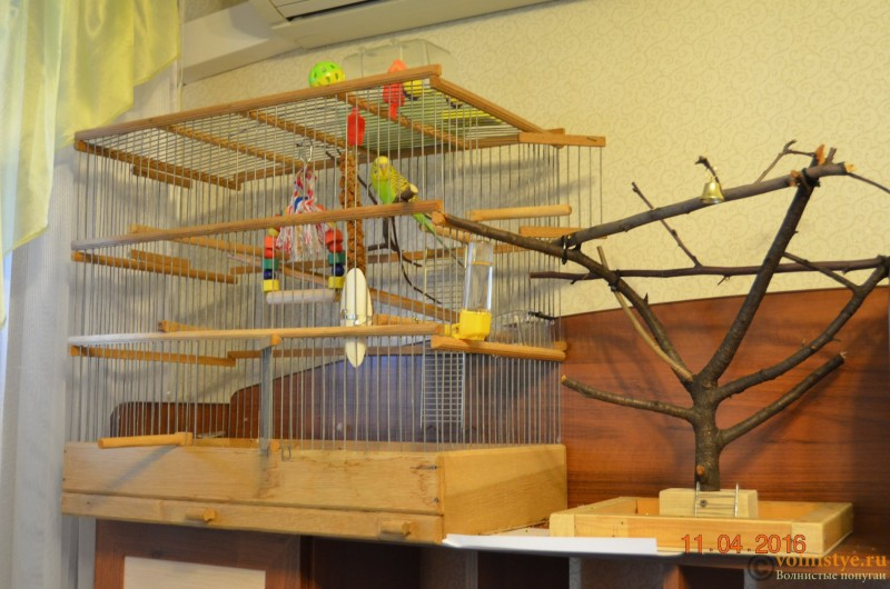 Определение пола и возраста попугаев № 9 - DSC_0410.JPG
