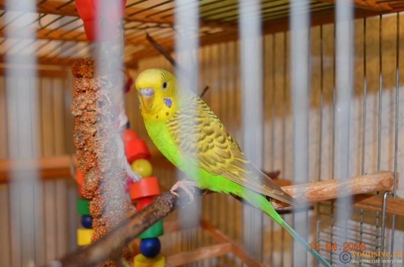Определение пола и возраста попугаев № 9 - DSC_0411.JPG