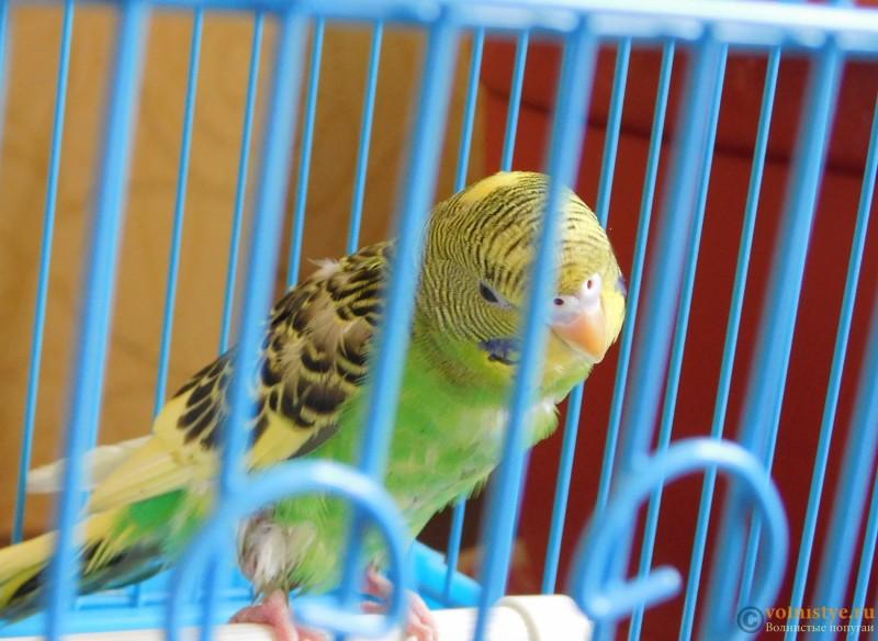 Определение пола и возраста попугаев № 9 - DSCN0462.JPG