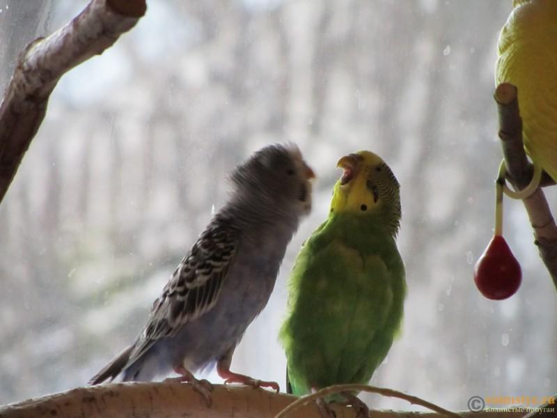 Определение пола и возраста попугаев № 9 - IMG_0009.JPG