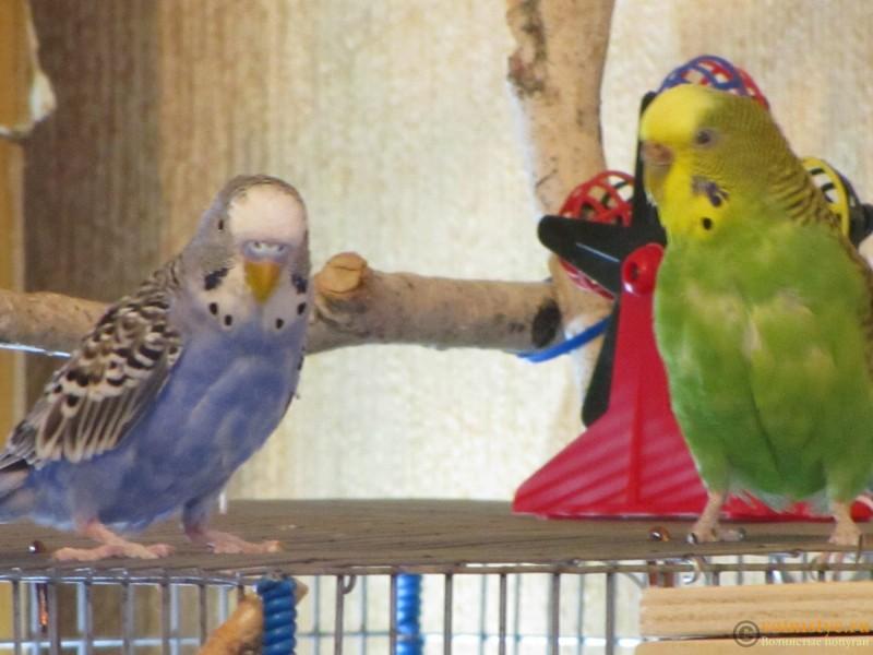 Определение пола и возраста попугаев № 9 - IMG_0010.JPG