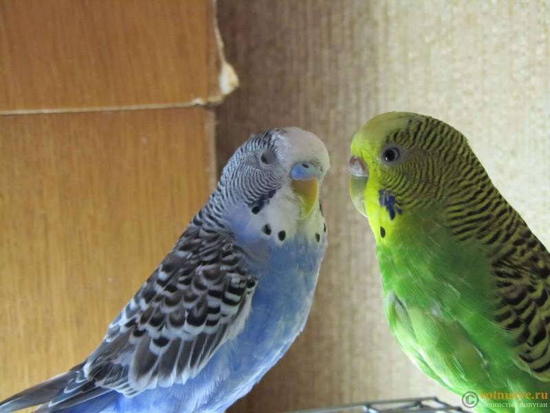 Определение пола и возраста попугаев № 9 - IMG_0016.JPG