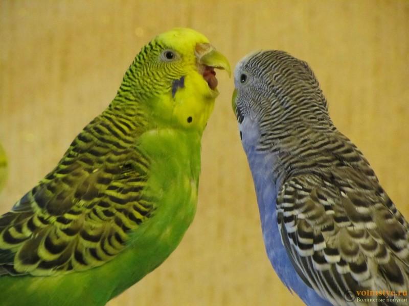 Определение пола и возраста попугаев № 9 - IMG_0013.JPG