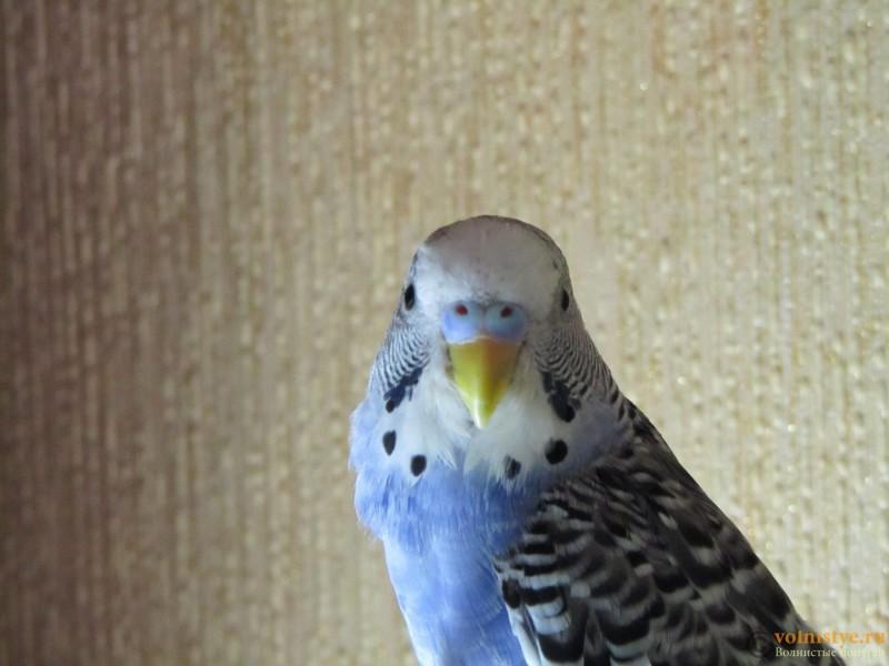 Определение пола и возраста попугаев № 9 - IMG_0018.JPG