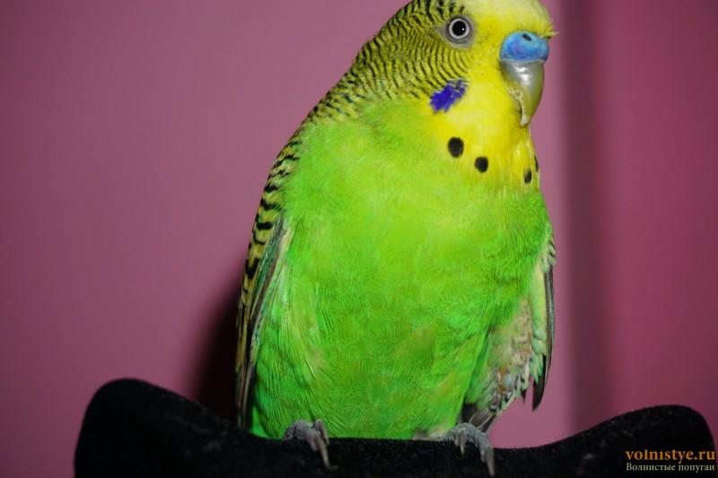 Липома у волнистого попугая - DSC08874.JPG