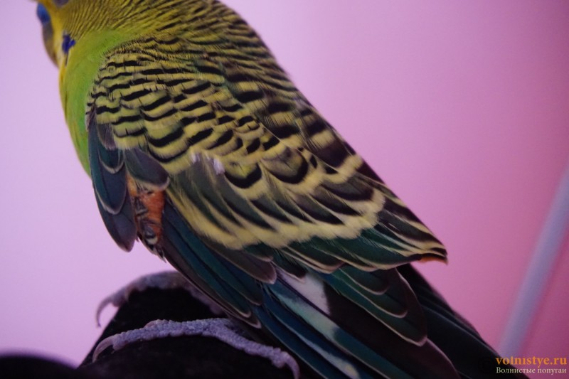 Липома у волнистого попугая - DSC08885.JPG