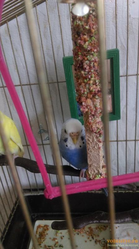 Определение пола и возраста попугаев № 9 - IMAG0049.jpg