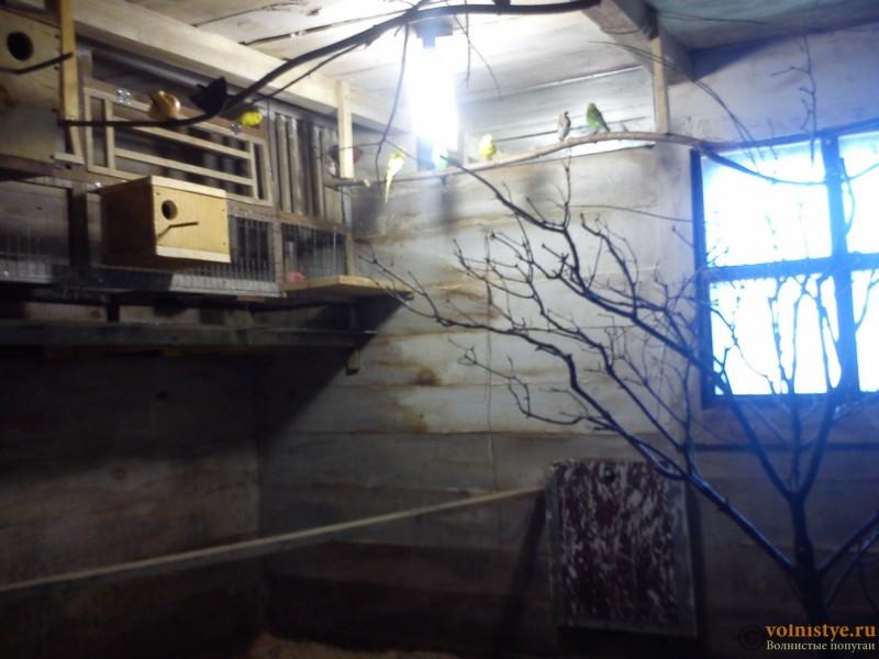 Птенец волнистика куплен в зоомагазине в ужасном состоянии - DSC_5955[1].jpg