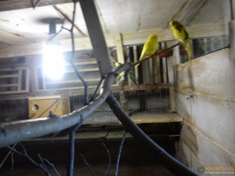 Птенец волнистика куплен в зоомагазине в ужасном состоянии - DSC_5949[1].jpg