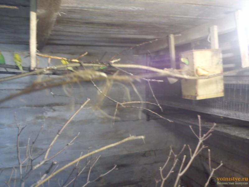 Птенец волнистика куплен в зоомагазине в ужасном состоянии - DSC_5950[1].jpg