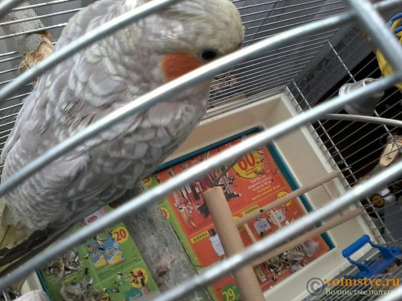 Определение пола и возраста попугаев корелла - 3.jpg
