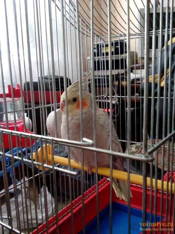 Определение пола и возраста попугаев корелла - 3LlLthFNvQk.jpg