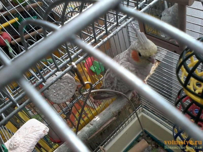Определение пола и возраста попугаев корелла - 4.jpg