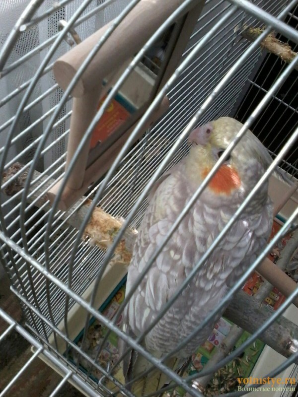 Определение пола и возраста попугаев корелла - 5.jpg