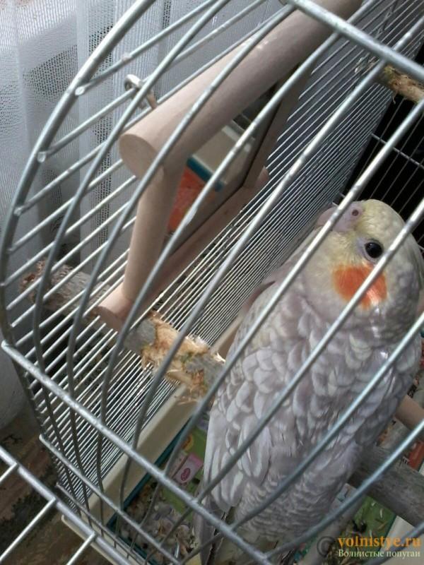 Определение пола и возраста попугаев корелла - корешка 1.jpg
