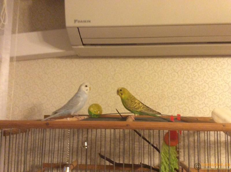 Имена для волнистых попугаев. - image.jpeg
