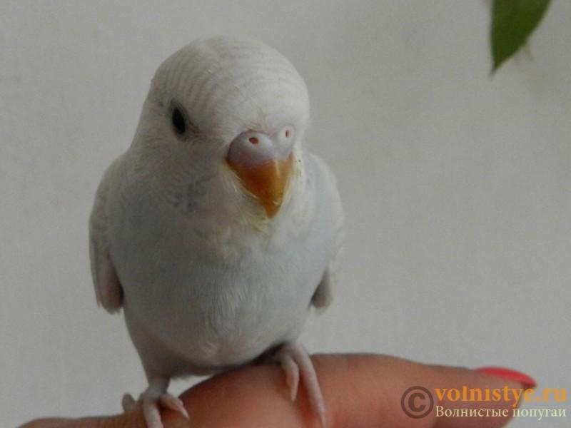 Определение пола и возраста попугаев № 10 - RSCN2297[1].JPG