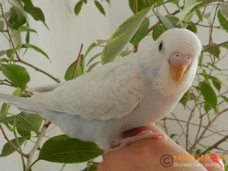Определение пола и возраста попугаев № 10 - RSCN2298[1].JPG