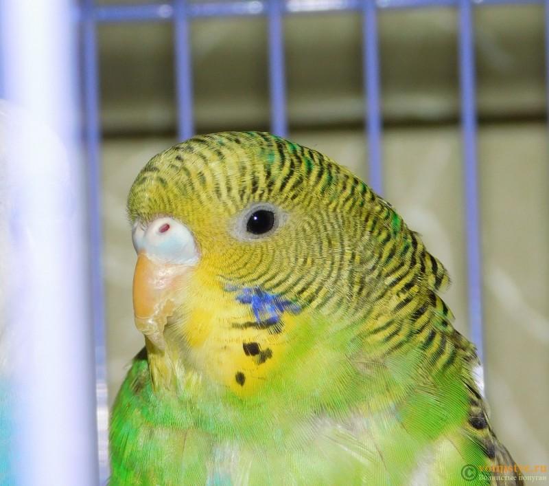 Определение пола и возраста попугаев № 10 - DSCN0524.JPG