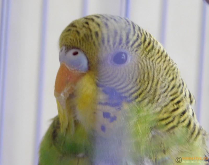 Определение пола и возраста попугаев № 10 - DSCN0519.JPG