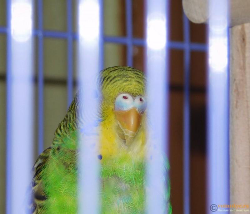 Определение пола и возраста попугаев № 10 - DSCN0521.JPG