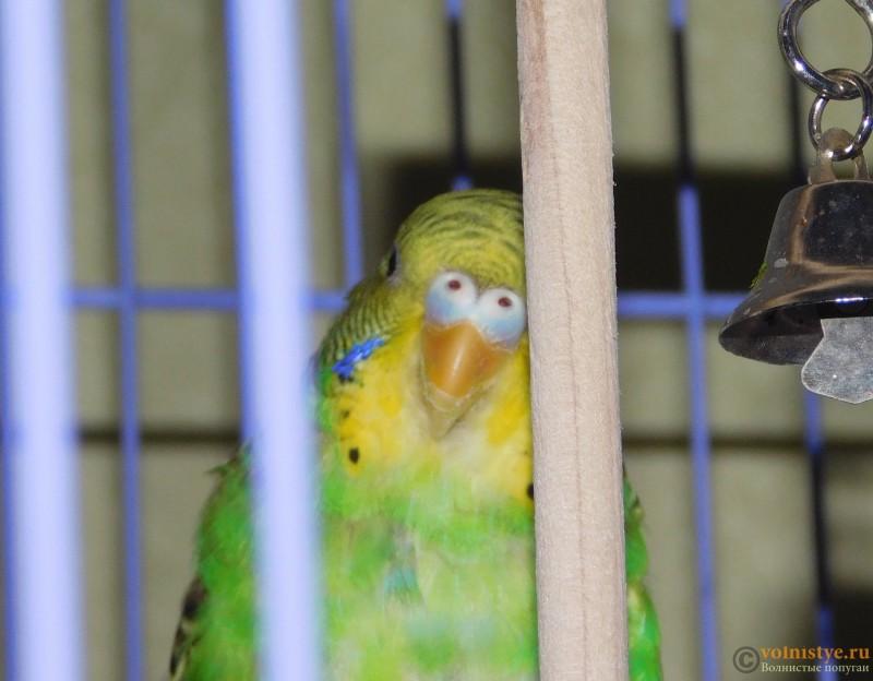 Определение пола и возраста попугаев № 10 - DSCN0522.JPG