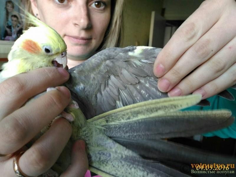 Определение пола и возраста попугаев корелла - image (2).jpg