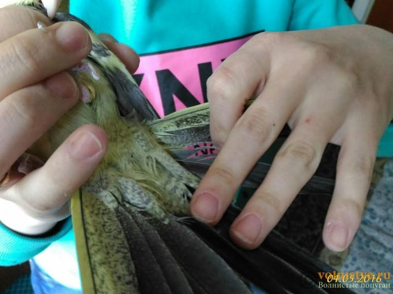 Определение пола и возраста попугаев корелла - image (1).jpg